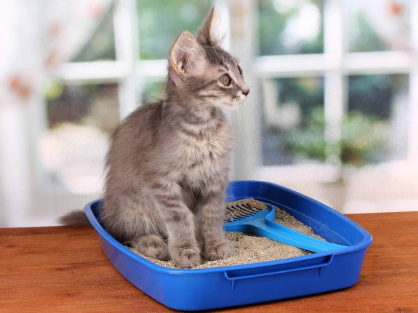 14955328 – small gray kitten in blue plastic litter cat on wooden table on window background