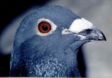 In vogelvlucht: Duiven bij de dierenarts