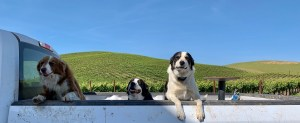 wildcat mountain vineyard los carneros