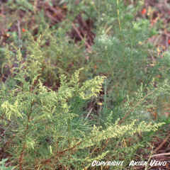 NHan Tran Artemisia capillaris Thunb.jpg (209263 bytes)
