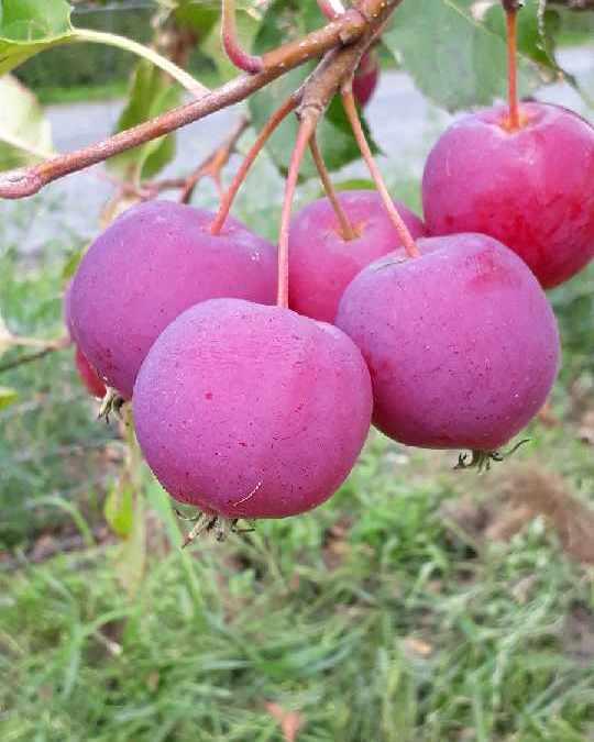 Pometet bugner af frugt i øjeblikket