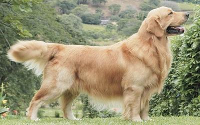 Raza de Perro Golden Retriever