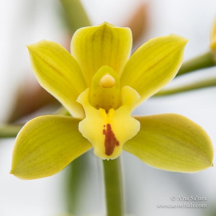 Cymbidium Mitzi 'Mabel' orchid images