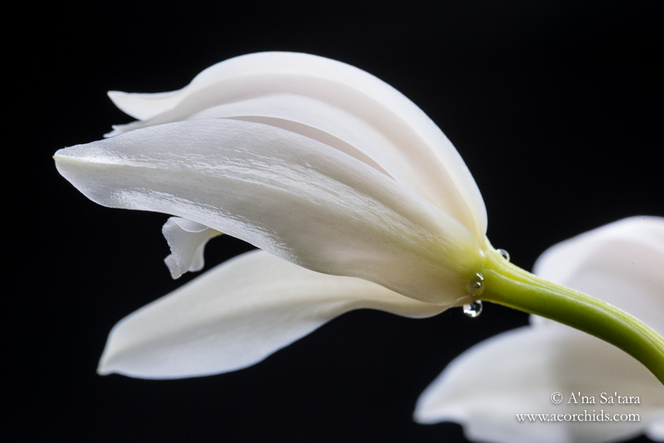 Cymbidium banaense orchid images