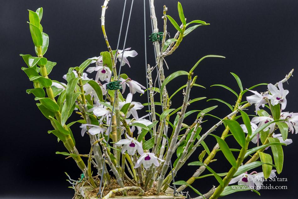 Dendrobium Nagasaki 'Cherry Blossom' orchid images