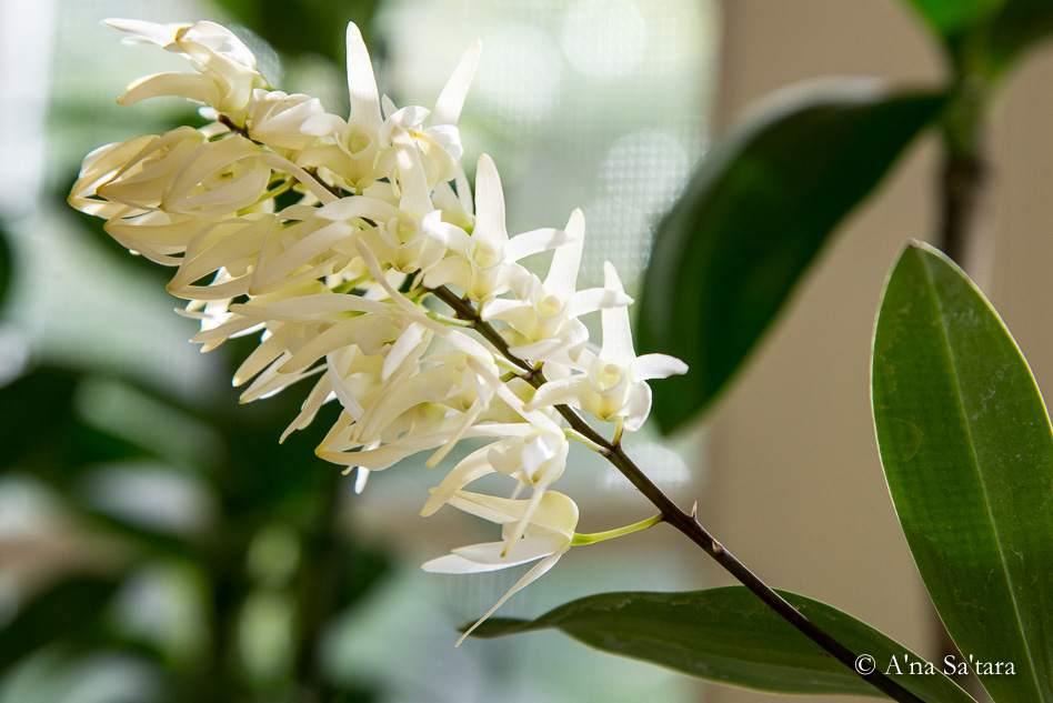 Dendrobium jonesii