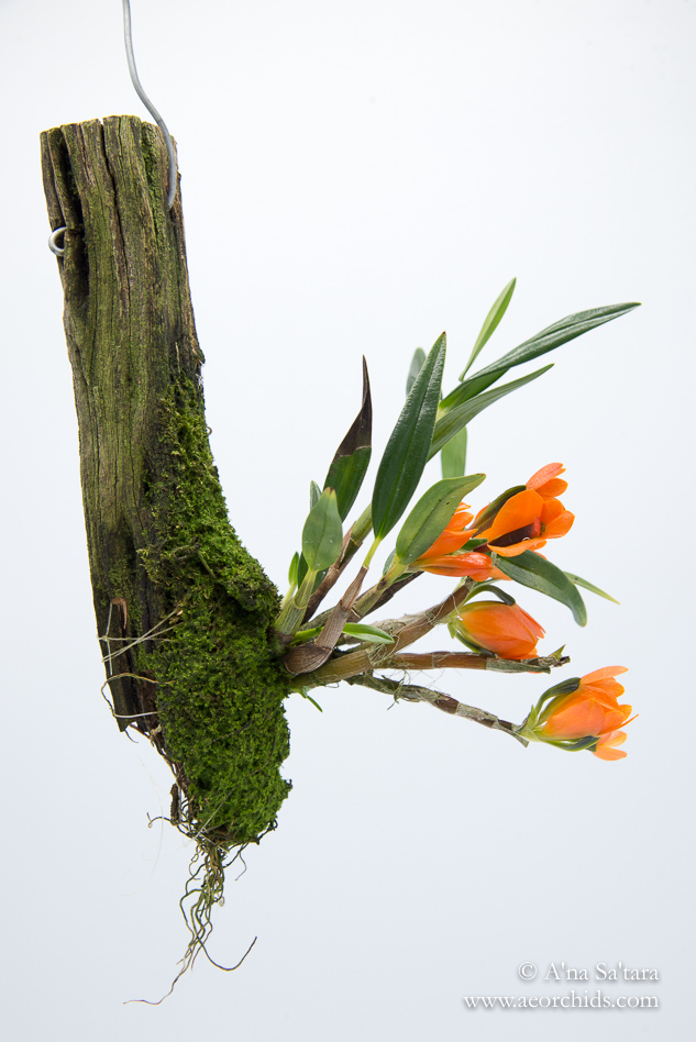 Dendrobium vexillarius (orange form) orchid images
