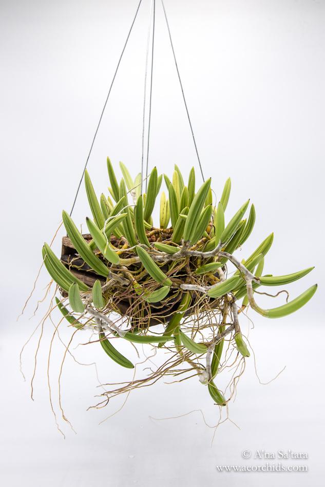 Dockrillia (Dendrobium) wassellii orchid images