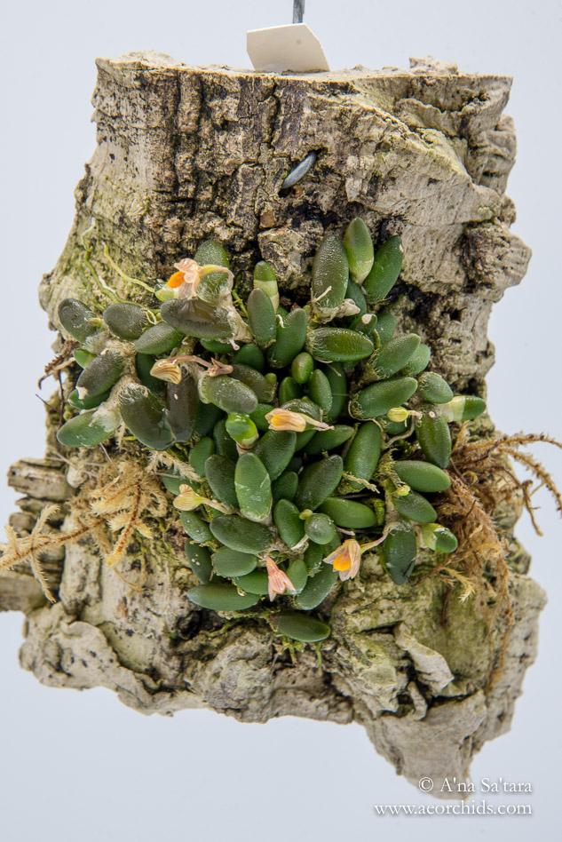Dendrobium (Dockrillia) lichenastrum orchid images
