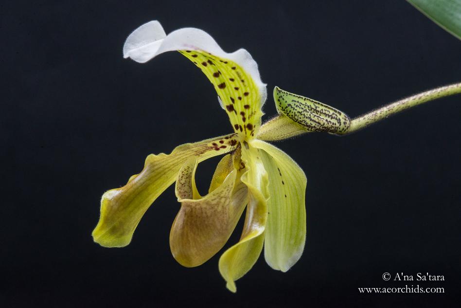 Paphiopedium Leanum orchid images