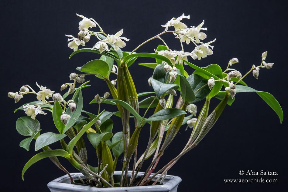 Dendrobium Aussie (Micro) Chip orchid images