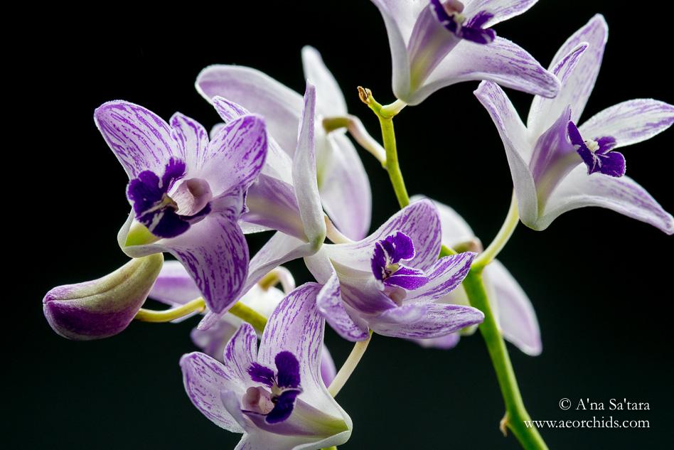 Dendrobium kingianum 'Little Ben' orchid images