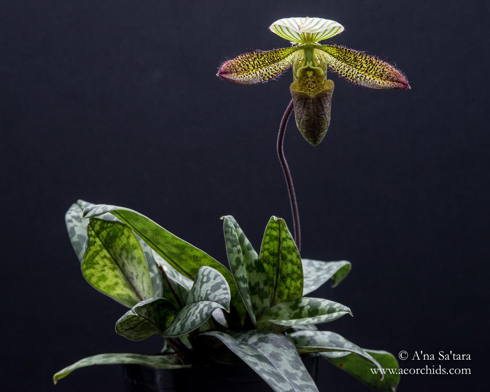 Paphiopedilum ward orchid images