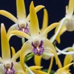 Dendrobium Robbie McInnes