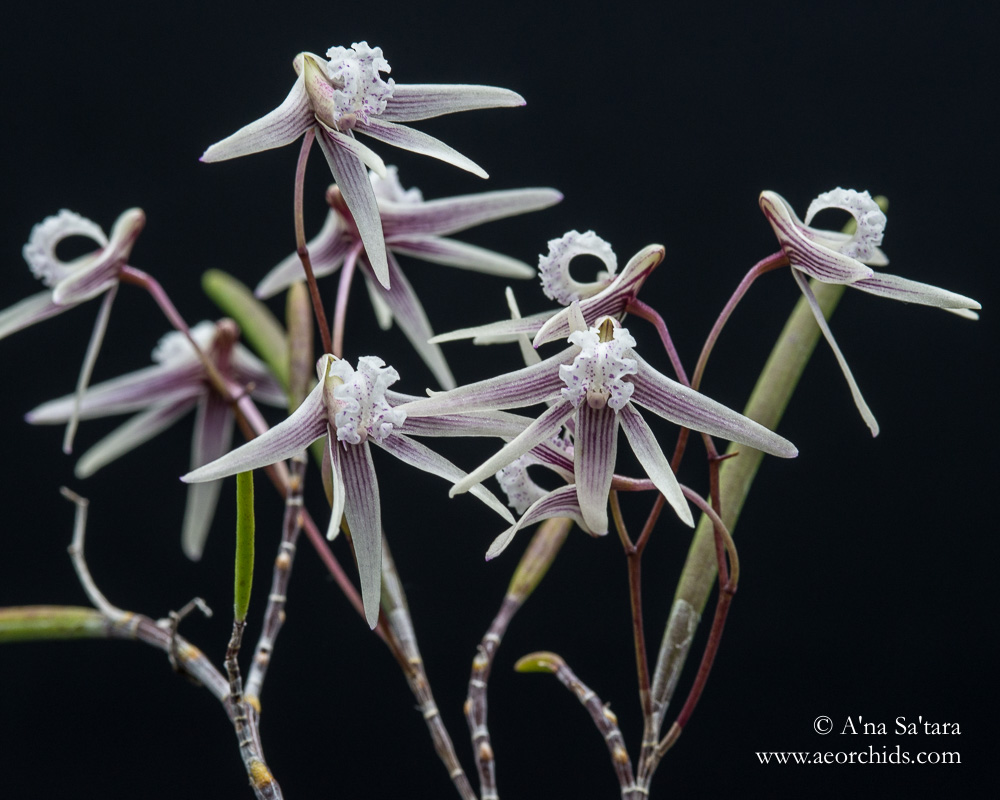 Dockrillia (Dendrobium) Rosemary Jupp orchid images