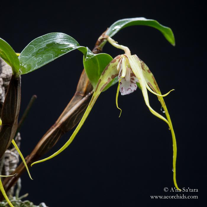 Dendrobium tetragonum var. giganteum (syn. Dendrobium capitisyork) orchid images