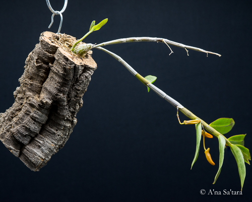how to mount an orchid