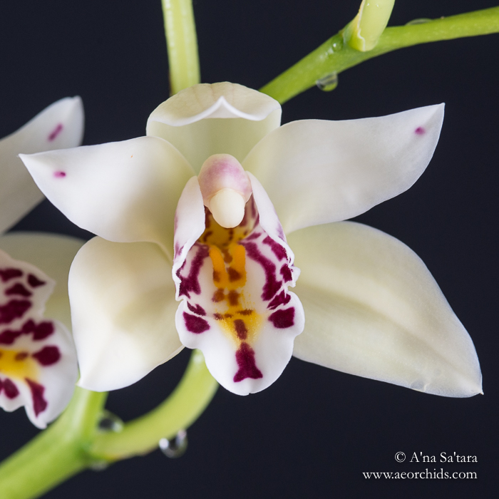 Cym sander orchid images