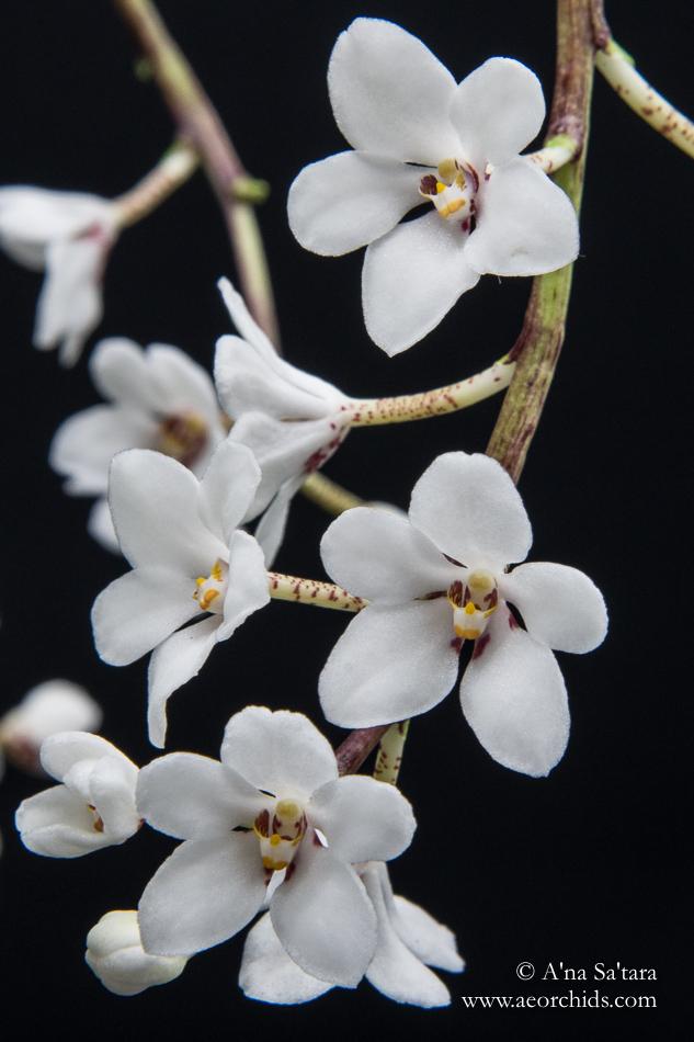 Sarcochilus hartmannii orchid images