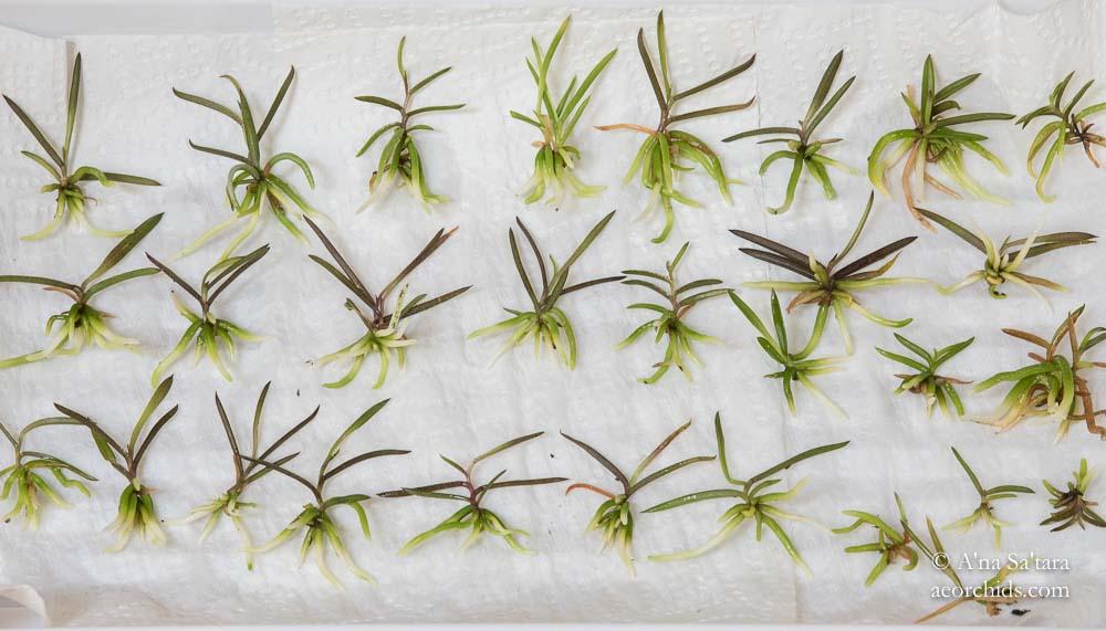 Sarcochilus ceciliae seedlings
