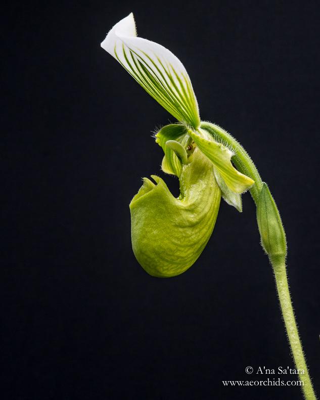 Paphiopedilum lawrenceanum fma. hyeanum orchid images