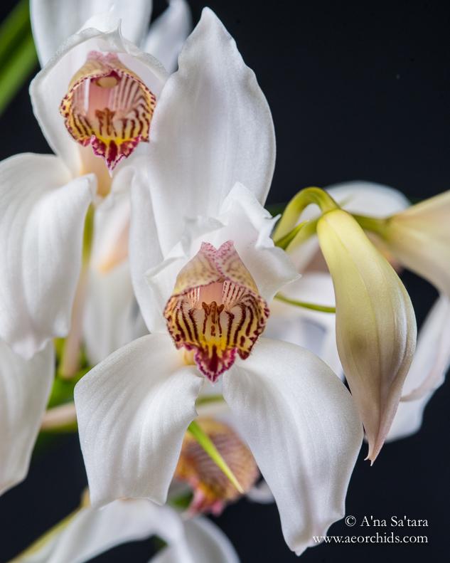 Cymbidium erythrostylum orchid images