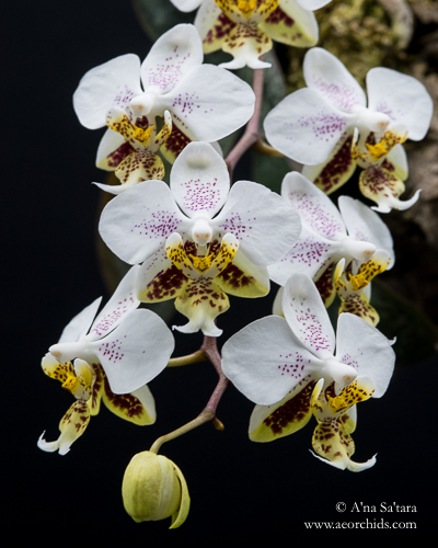Phalaenopsis orchid virus CymMV ORSV