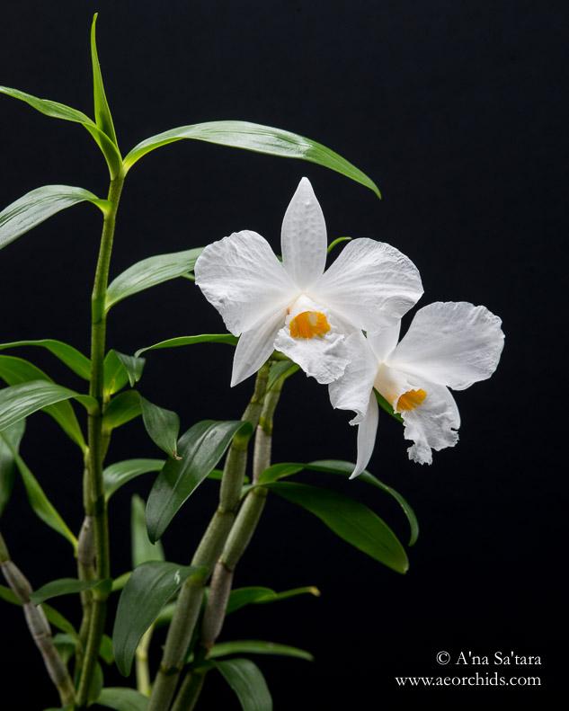 Dendrobium infundibulum orchid images