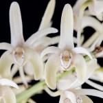 Dendrobium speciosum var. pendunculatum