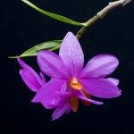 Dendrobium Le Papillon Rose