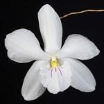 Dendrobium papilio
