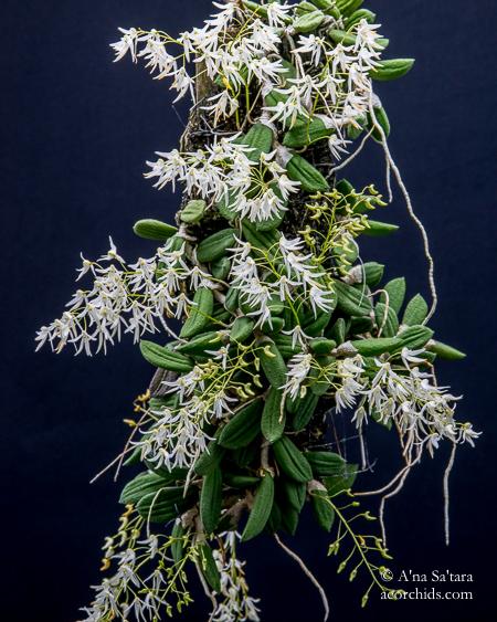 Dockrillia orchid taxonomy