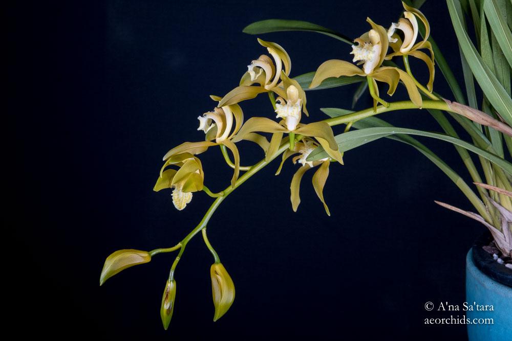 Cymbidium tracyanum fma. album 'Woodside' JC/AOS