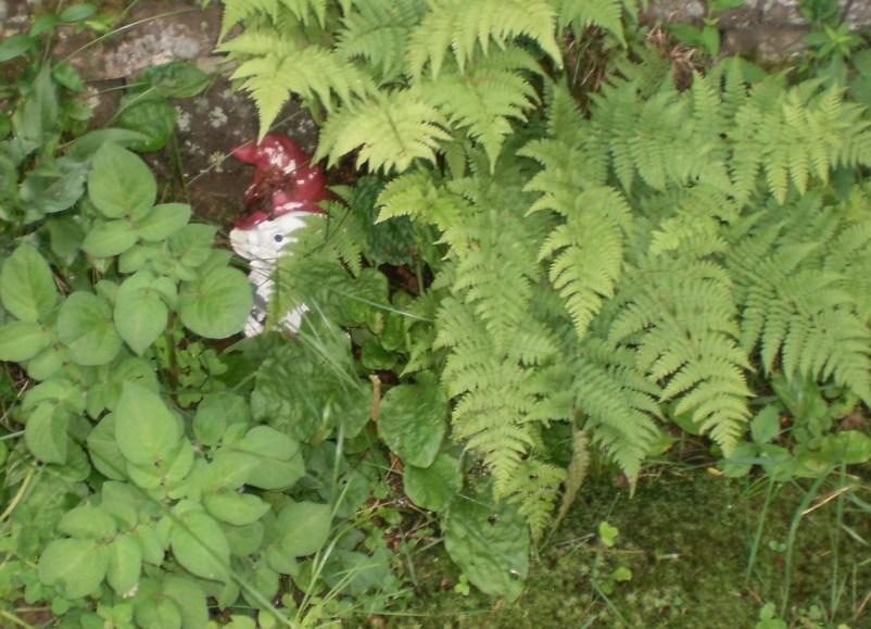 Garden Gnome behind a fern