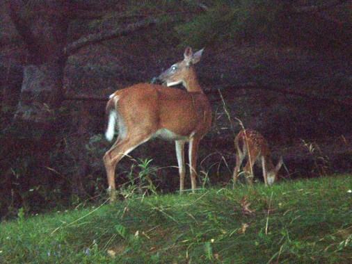 Deer With Fawn.