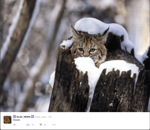 Lynx sheltering in a snowy tree stump.