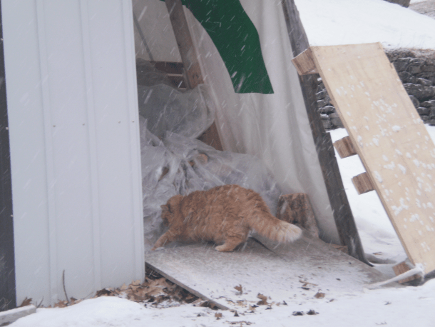 Moe inspecting the wood shed in the snow.