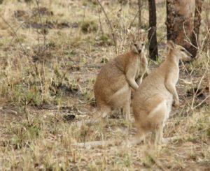 Wallabies Near Fitzroy Lodge