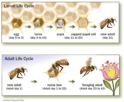 HoneyBeeLifeCycle
