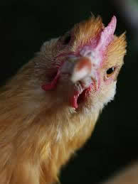 Do You Have A Chicken Theology?