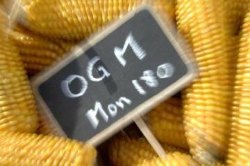Mais OGM de Monsanto Mon 810 : illustration La France, la plus grande puissance agricole en Europe, vient d'activer la Ôclause de sauvegarde' sur un maïs OGM de Monsanto (le Mon 810) qui devient interdit pour l'instant. FRANCE - 21/01/2008