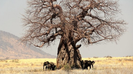 Baobab tree with elephants