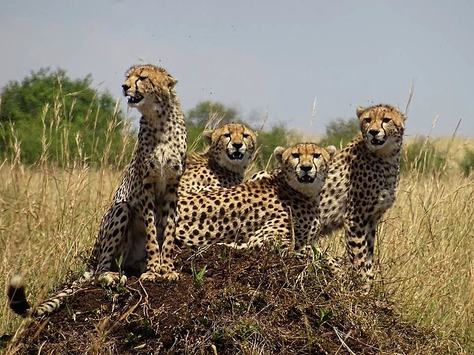cheetay family