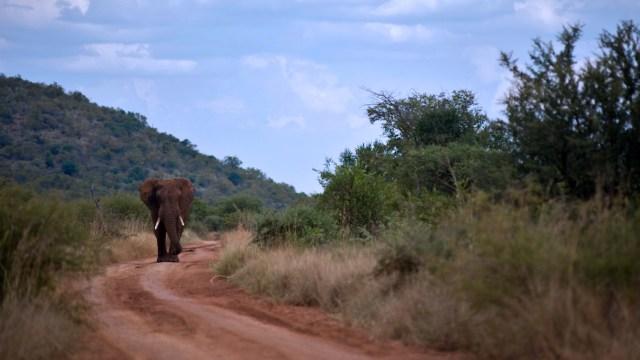 elephant on the road walking