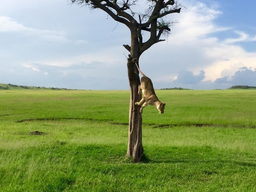 Lion jumping out of tree