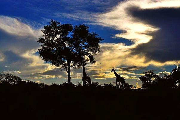 silhouette giraffes