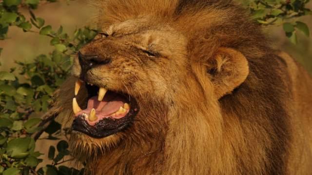 lion smelling