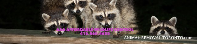 Raccoon Removal Markham - Affordable Raccoon Control in Markham, Animal Control and Removal in Markham
