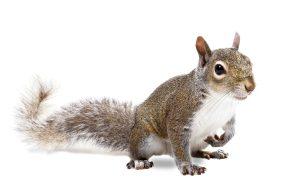 squirrel removal - wild animal control toronto
