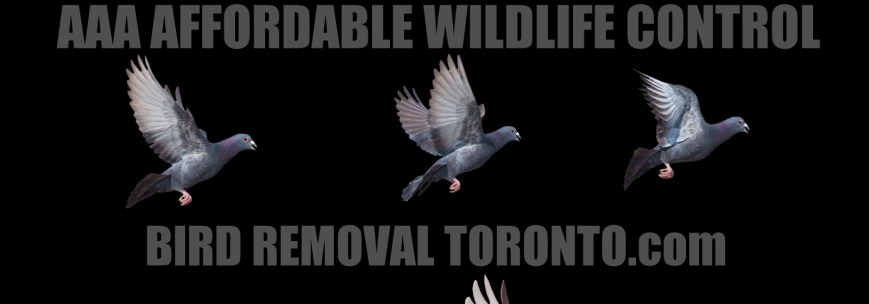 BIRD REMOVAL TORONTO - Bird Nest Removal Toronto - AAAAFFORDABLE WILDLIFE CONTROL